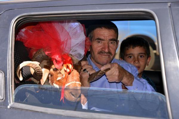 Erzurum'da süslenen gelin koçları yola çıktı