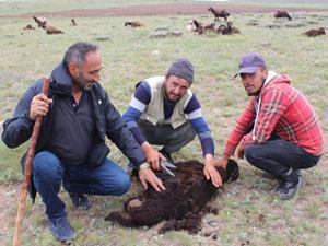 Erzurum'da koyun kırkım zamanı